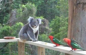 Koala and friends from inside Treetops